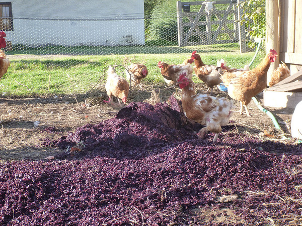 chickens in action (San Rafael)