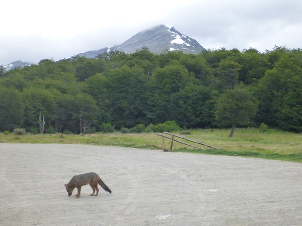 fox and mountain, Bahía Lapataia