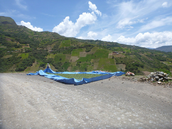 Drying coca on the roadside in the Yungas region