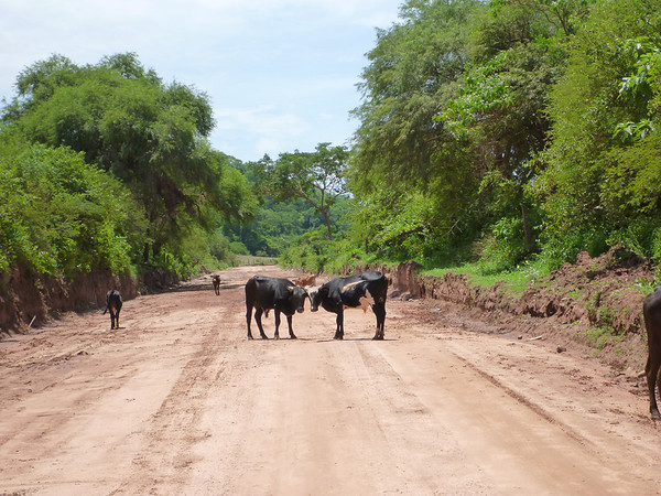 Bulls fighting in the road on the way to the Bolivian border.
