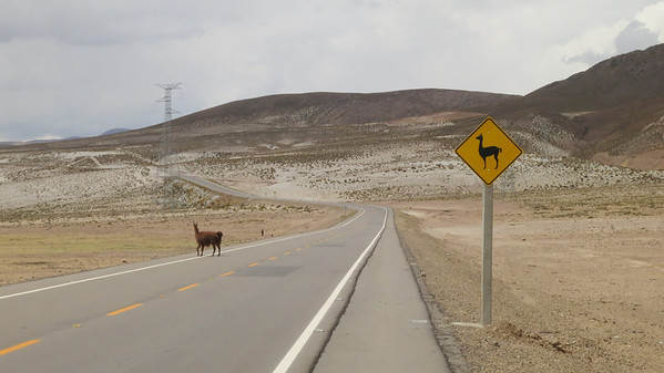 This Llama crosses where he's supposed to, on the way to Potosi