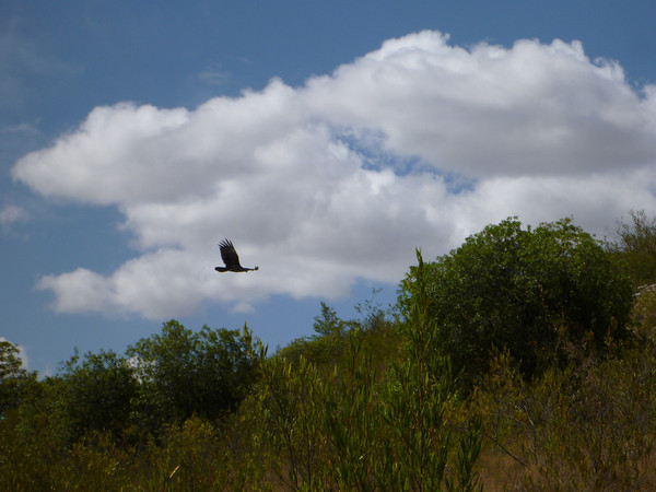 low flying condor, near El Vergel