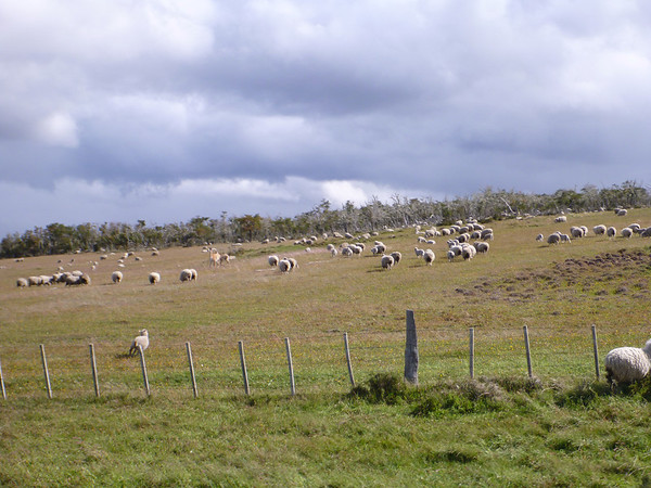 yes, lotsa sheep, outside of reten Pampa Guanaco