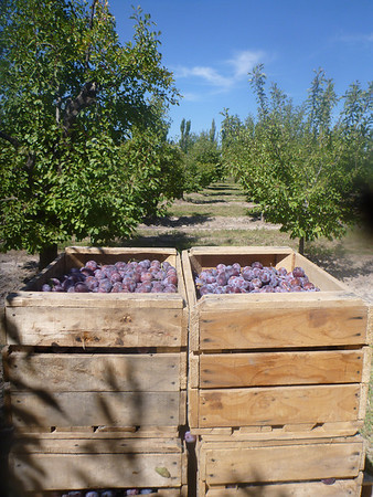 Plums in boxes (San Rafael)