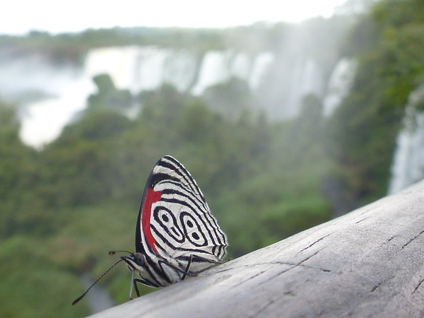 Modern looking butterfly  (Cataratas de Iguazú)