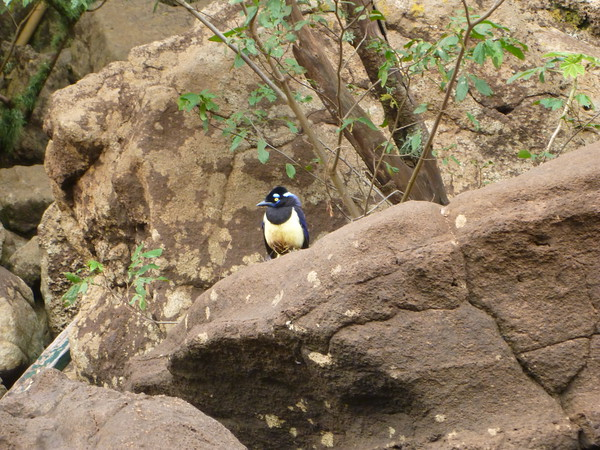 little yellow-breasted bird on the rocks  (Cataratas de Iguazú)