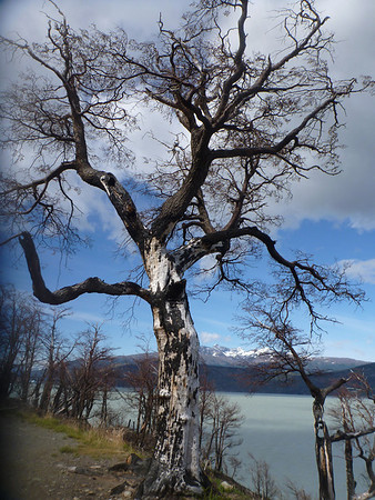 Fire tree.  Above Lago Grey, Torres del Paine