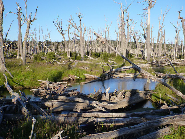 beaver dam and extensive damage, Refugio de Caza y Pescar. Lago Blanco