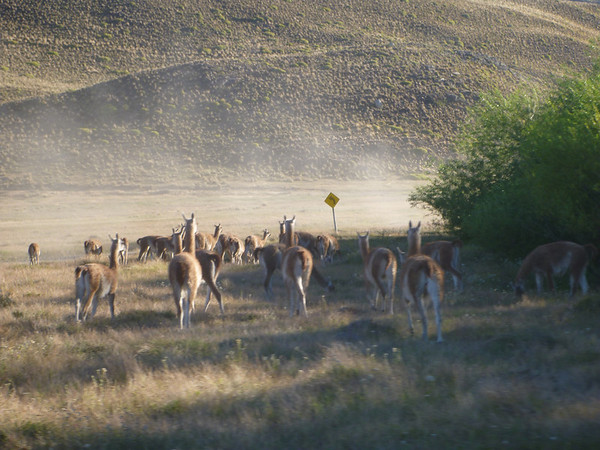 Guanacos trying to avoid us on the way to Conservacion Patagonia