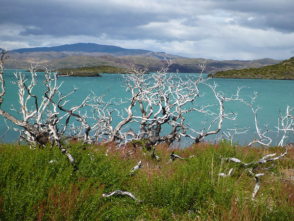 Fire damaged shrubs by Lago Pehoé, Torres del Paine