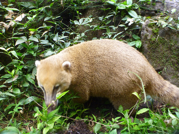 one of the few coatis we saw well away from a snack bar  (Cataratas de Iguazú)
