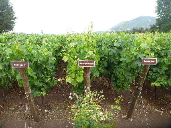 Different types of grapes at the Viu Manent winery in the Colchagua valley.
